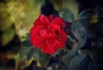 B_Rose