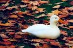 Weiße Ente im Laub...Ostern war es aber nicht :-)
