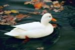 Weiße Ente auf dem Wasser