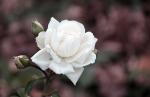 Edle Rose im Park