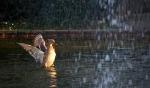 Fröhliche Ente am Springbrunnen