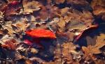 Wasserblatt orange