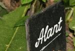 H_Alant2
