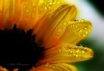 Tropfen an der Sonnenblume