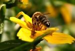 Bienchen an Blume