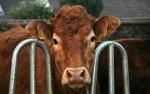 Französische Kühe