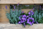Lavendel und Campanula