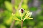Feuerwanze auf Hibiskusblüte