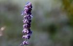 Lavendel blüht auch noch