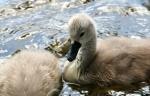 Little Swan_3
